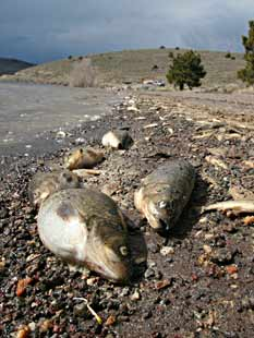 Dead Utah chubs line the shore of Panguitch Lake after rotenone treatment.