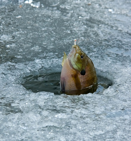A bluegill caught through       the ice
