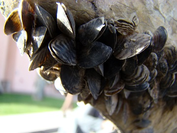 Quagga Mussel Veliger discovery at Deer Creek Reservoir