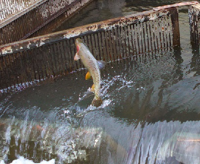 See Cutthroat Trout at Strawberry