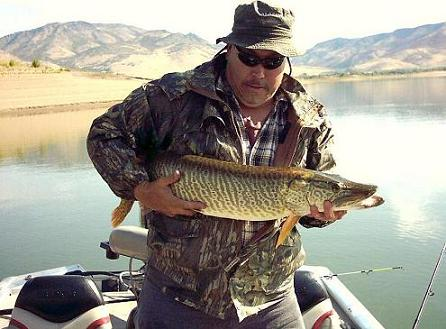 A Pineview Reservoir Tiger Musky